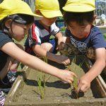 お米を育てよう! 5歳児