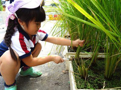 食育活動 米作り